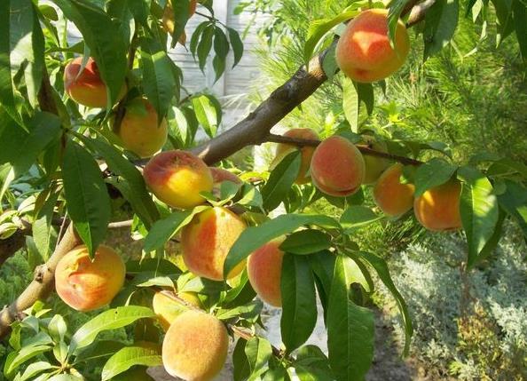 Абрикосы и персики.